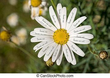 amores, margarida, flor, conceito