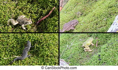 amphibia frogs collage - Toad, frogs and newt triton....