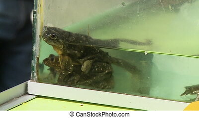Amphibians in an aquarium - A still medium shot of two...