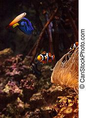 amphiprioninae, real, clownfish, azul, espiga