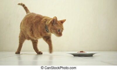 An amputee feline orange tabby walking from a distance to sit down and eat food out of a dish placed on the floor in front of the camera.