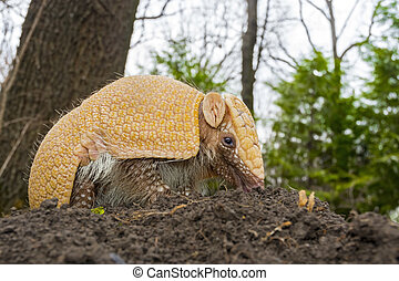 Amradillo in a forest - Southern three-banded armadillo - ...