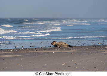 amrum, playa, sello, alemania
