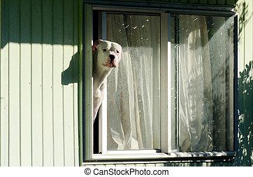Amstaff dog