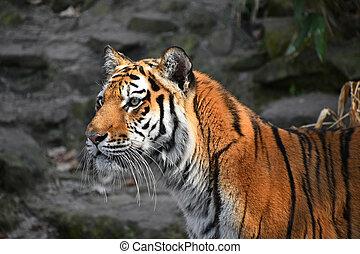 amur, arriba, tigre siberiano, retrato, cierre, lado