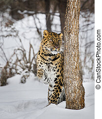 Amur Leopard at Triple D Game Farm - Amur Leopard peeking...