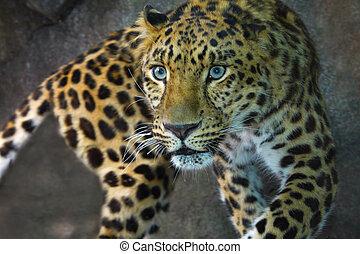 Amur Leopard on the prowl