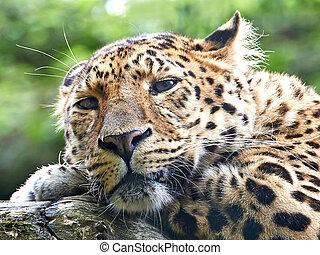 Amur leopard resting on a branch in its habitat