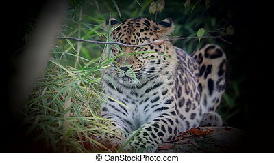 Amur Leopard (Panthera Pardus Orientalis) Lying on a Rock