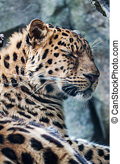 Amur Leopard resting on rock