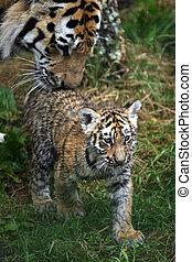 Amur Tiger Cub and Parent - Pantera tigris altaica