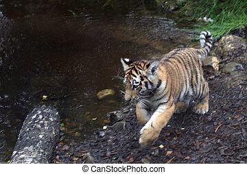 Amur Tiger Cub - Panthera tigris altaica