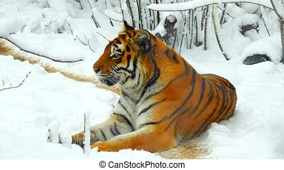 Amur tiger in the forest in winter