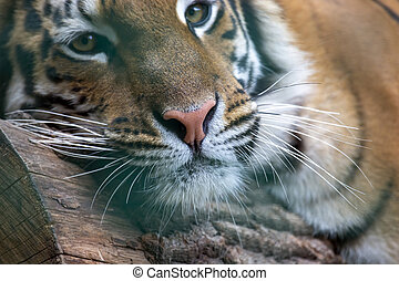 Amur tiger resting on a tree closeup