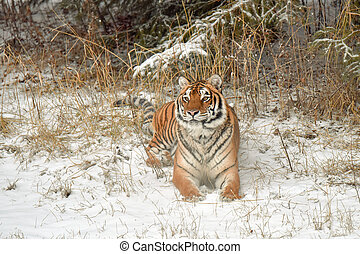 Amur Tiger Sitting Down in the Snow