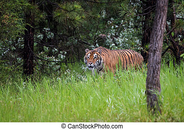 Amur Tiger Stalking through the Long Grass in a Pine Forest