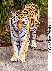 Amur Tiger - Close up of Amur Tiger (Panthera tigris...