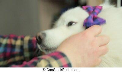 amusement, chien blanc, nœud papillon