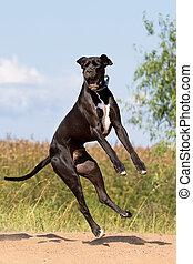 amusement, chien noir, mastiff