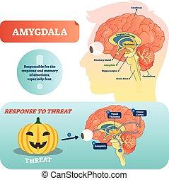 Amygdala medical labeled vector illustration. Anatomical scheme with visual thalamus, cortex and response to threat. Diagram with cerebrum, thalamus and corpus callosum.