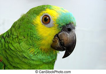 Amzon parrot