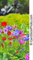 anémona, flores, en, campo