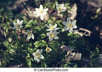 anémona, flores, en, el, primavera