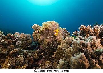 anémona, sea., magnífico, anemonefish, rojo