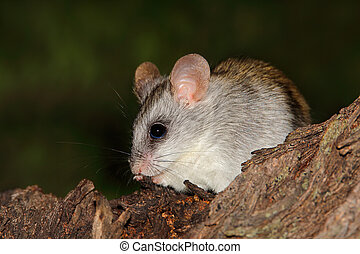 Acacia tree rat