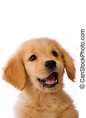 an adorable 8 week old Golden Retriever Puppy with a happy expression on his face.