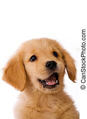 Golden Retriever Puppy - an adorable 8 week old Golden ...