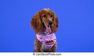 An adorable cocker spaniel with hanging ears sits in the studio on a blue background. A pet in a pink bib is waiting for a treat, sticking out its tongue. Slow motion. Close up
