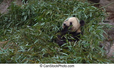 an adorable panda bear sitting among bamboo branches and eating.