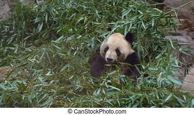 an adorable panda bear sitting among bamboo branches and eating