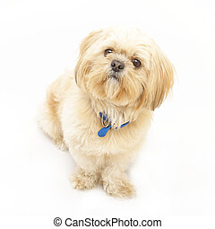 Shih Tzu - An adorable Shih Tzu dog isolated on white.