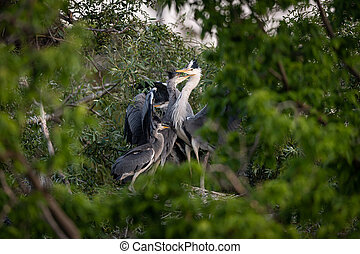 An adult grey heron feeding children in their nest - An ...