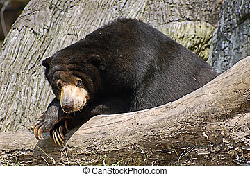 Malaysian sun bear - An adult Malaysian sun bear relaxing on...