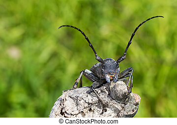 Morimus funereus - An adult of Morimus funereus, longhorn...