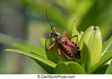 An adult red black assassin and thread-legged bug sitting on...