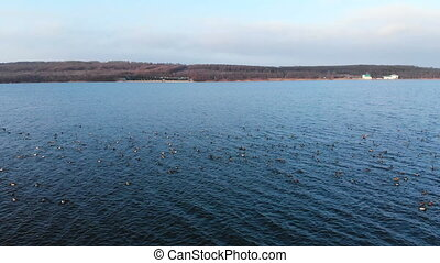An aerial view of a group of mallard ducks swimming peacefully and taking off in a large lake. Wild ducks fly in vivo in the wild on winter