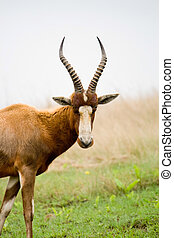 an african antelope in wild