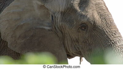 An African bush elephant close up view of its small eyes and...