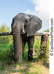 An African elephant in a game reserve, South Africa