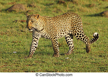 An African Leopard prowling on the open plains of the Masai Mara