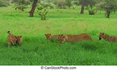 African lion pride greeting - An African lion pride greeting...