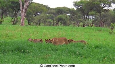 African lion pride meeting