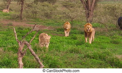 African lion pride - An African lion pride of two males and...
