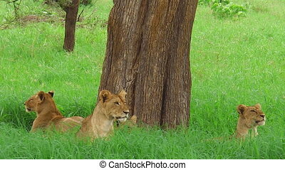 African lion pride - An African lion pride resting under a...