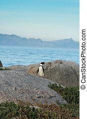 An African penguins on the beach