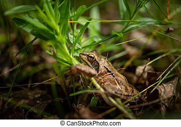 An agile frog sitting in a meadow